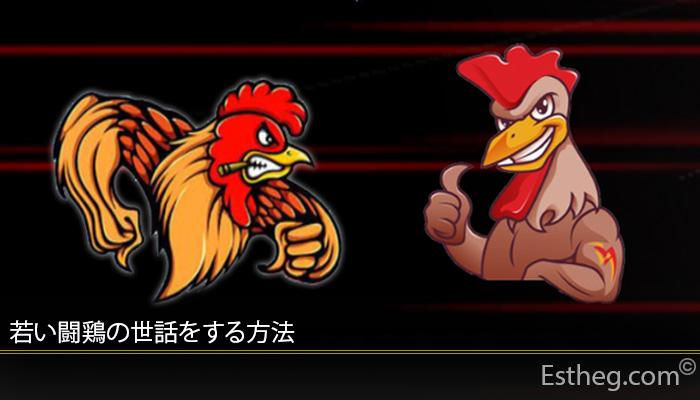 若い闘鶏の世話をする方法